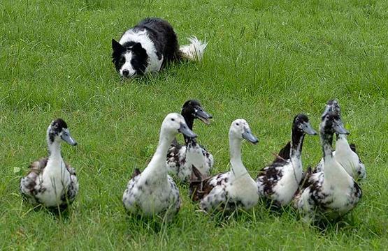 Herding Training For Dogs Melbourne