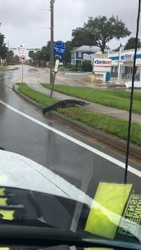 Melbourne alligator crosses road during Hurricane Irma