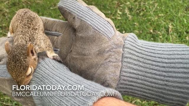 Baby separated from mama squirrel by Hurricane Irma