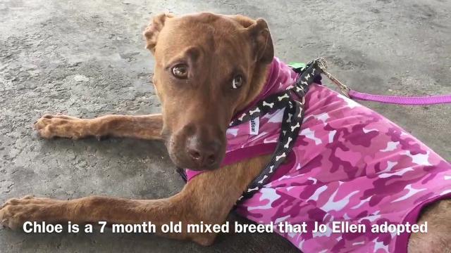 Chloe the dog survives alligator attack