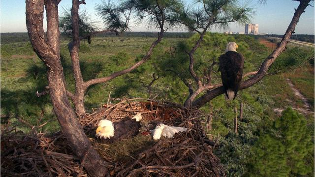 Tree supporting bald eagle nest at KSC dies