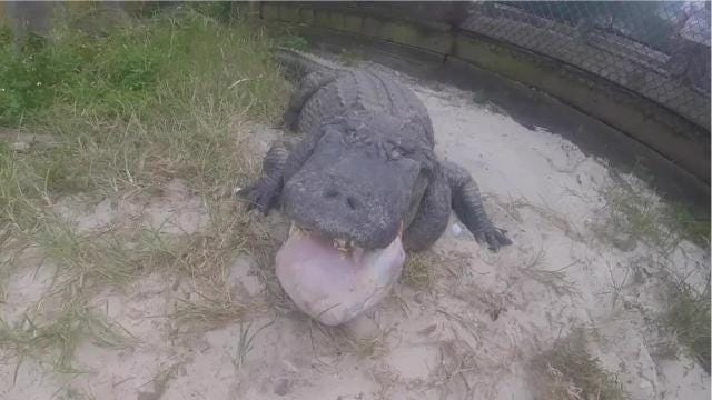 Man feeds alligators 15-pound turkeys -- and they love it
