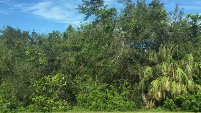 From brown to green: Trees bounce back after Hurricane Irma