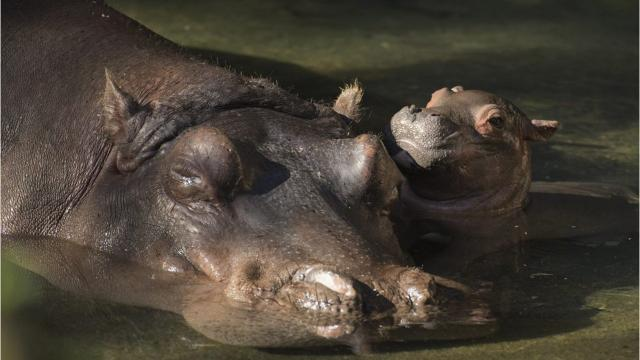 A Nile hippopotamus was born at Disney's Animal Kingdom in Lake Buena Vista on Jan. 13, 2018. This was the first hippo born at the park in 13 years. Parents are mother hippo, Tuma, and her mate, Henry. Video courtesy of Disney