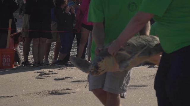 2 loggerhead sea turtles were released back into ocean off Brevard coast of Florida. Video courtesy of Brevard Zoo posted Jan. 24, 2018.