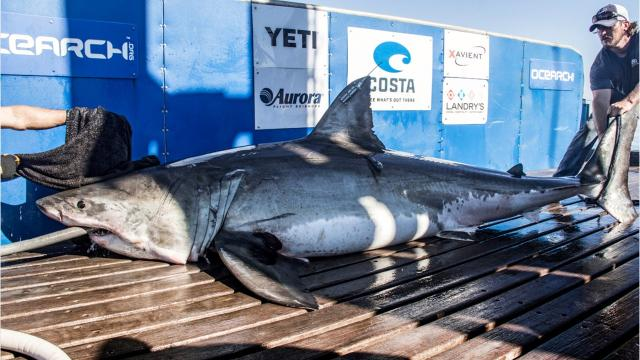 12-foot, 1,668-pound great white shark named Miss Costa was tagged by Ocearch in Nantucket, Massachusetts, in September 2016. Footage courtesy of Ocearch, shark research group. Video posted by Jennifer Sangalang, FLORIDA TODAY.
