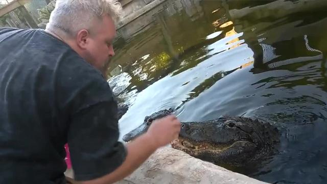 Gator Crusader didn't forget about his gators for Valentine's Day. Watch him interact, pet alligators -- and give them a special treat, too. Footage courtesy of Michael Womer. Video posted by Jennifer Sangalang, FLORIDA TODAY.