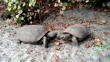 38321750001_5743791454001_5743775052001-th Tortoise love triangle? 2 tortoises fight over another