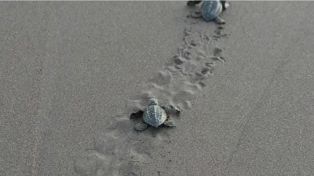 Sea turtles are protected and nesting season requires all beach lights to be darkened. GINNY BEAGAN/FLORIDA TODAY