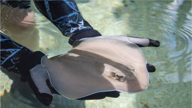 Southern stingray Belle gave birth to 2 stingray pups, Dallas and Clementine, at Brevard Zoo. Footage provided by the zoo. Video posted May 18, 2018.