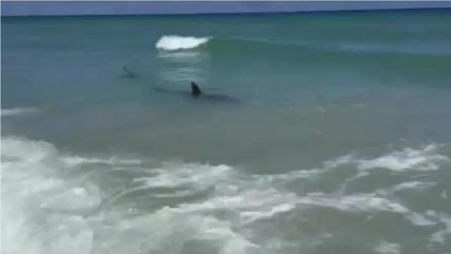 Sharks Common in Florida Waters