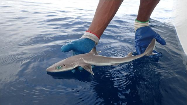 "Toby Daly-Engel of Florida Tech was among 4 researchers who discovered a new species of shark, the Squalus clarkae or ""Genie's Dogfish."" ""Genie"" is an homage to famed shark research pioneer Eugenie Clark. Video courtesy of MarAlliance"