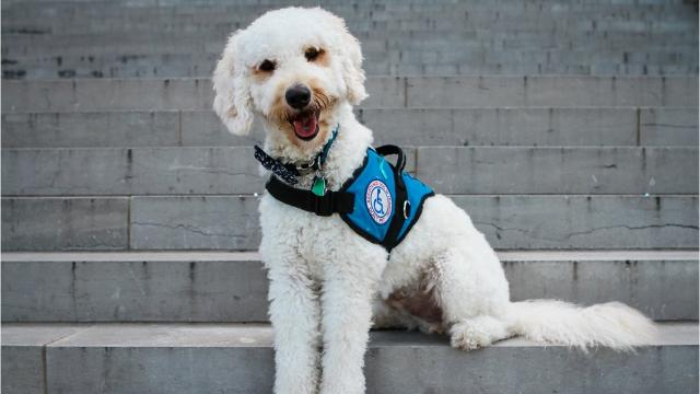 There's a big difference between a service dog, a therapy dog and an emotional support animal.