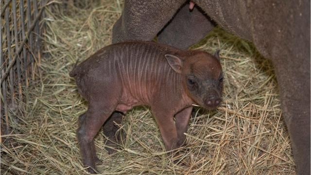 Meet Java, a north Sulawesi babirusa born Aug. 4, 2018, at Brevard Zoo. He's the first of his species born there. Video and photos courtesy of Brevard Zoo.