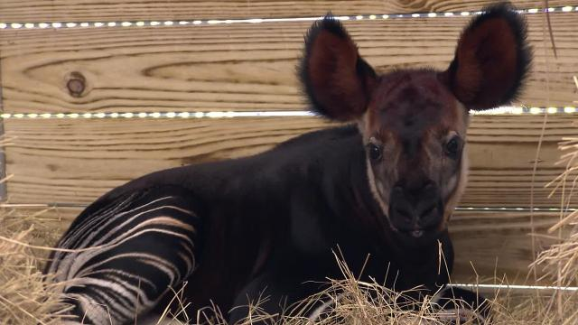Disney's Animal Kingdom in Orlando is celebrating the birth of a rare okapi to mom Zelda. The calf weighed 54 pounds and will remain backstage before joining animals on the savanna. Photos, video by Disney.