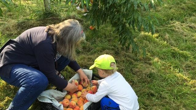 Families pick peaches in Shelburne