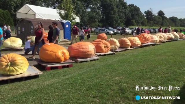Video: Giant pumpkins roll into Colchester