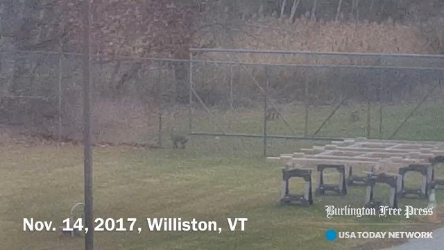 John Roberts of the Vermont Agency of Agriculture says he spotted the four bobcats from the window of his office on Harvest Lane in Williston, mid-morning Tuesday, Nov. 14, 2017.
