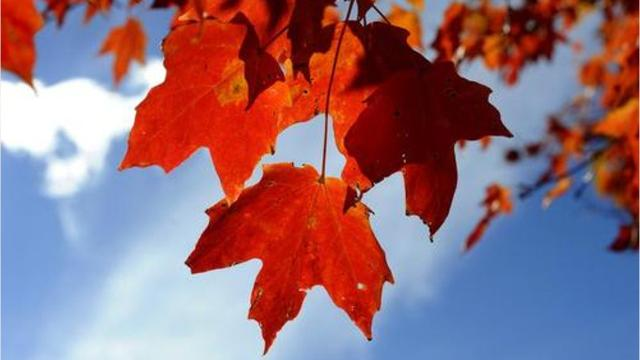 This year's fall colors have the potential to be memorable, according to Clemson forest ecologist Donald Hagan