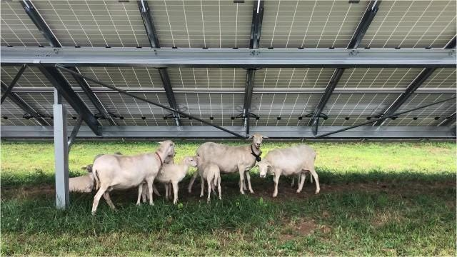 At Furman University's solar farm high-tech meets old school when it comes to maintenance as the university brings in sheep to take care of the tall grass that grows beneath the solar panels