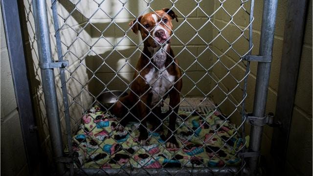 The Muncie Animal Care and Services facility is where nine adoptable dogs have been living long-term. Despite multiple promotional events and social media campaigning, shelter staff have been unable to find homes for these dogs.