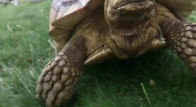Andy Coombs says his African spurred tortoise, weighing about 35 pounds, got himself lost around the Marwood Manor area in south Port Huron and by now could be anywhere, because someone left the gate open.