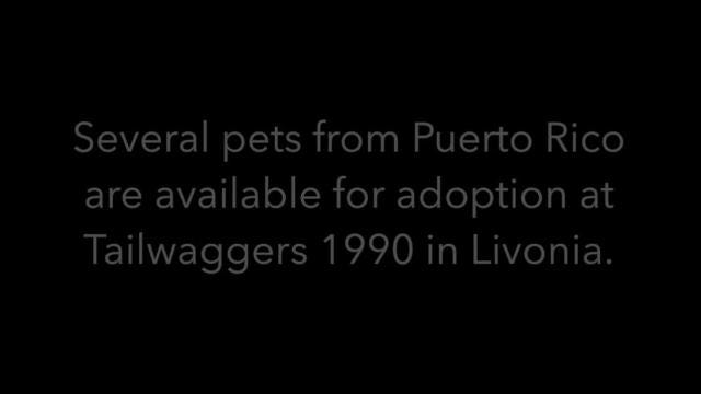 Tailwaggers 1990 in Livonia recently brought back several animals from Puerto Rico, which continues to recover from Hurricane Maria. These animals are up for adoption or fostering at the Livonia non-profit.