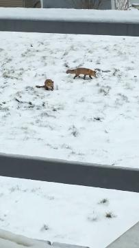 Video by Mary Osborne of two foxes catching a mouse along the St. Clair River near the River Crab restaurant.