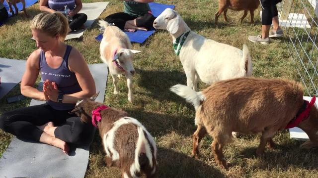 Seven goats from Hilltop Farms in Williamston took part in a yoga class Saturday at the winery.