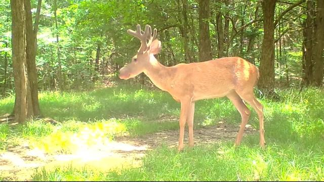 Bullwinkle deer found in Mississippi