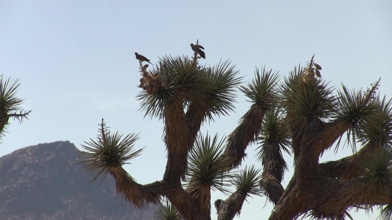 Tour Joshua Tree with sports columnist and golf reporter Larry Bohannan.