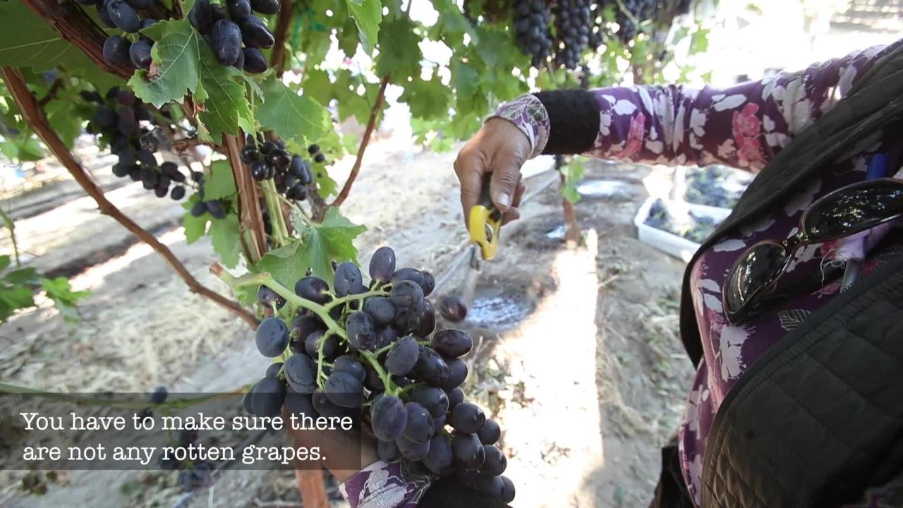 Take a look at how farmworkers in the Coachella Valley harvest grapes. The late, slow harvest threatens the grape industry in Riverside County, which was estimated at $139 million in 2016.