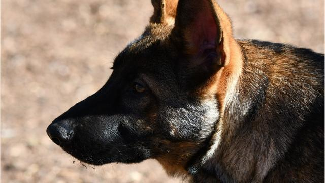 k 9 attacks california man while handcuffed held down by 3 officers