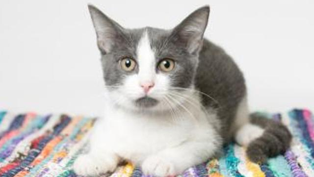 Here are the latest cats up for adoption at The Humane Society of Elmore County. For more information about these pets, hours of operation, rules and more, go to http://www.elmorehumane.org/