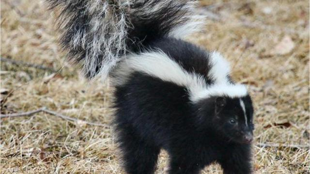 How to keep skunks, raccoons and other critters away from your home