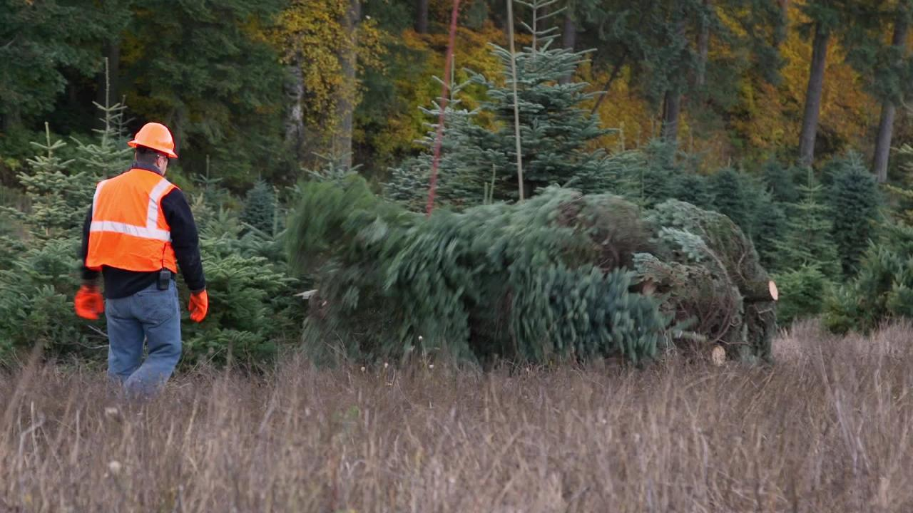 Americans will pay more this year for fresh Christmas trees due to ...