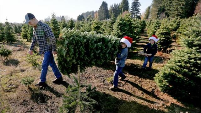 Where To Get You Cut Christmas Trees In Salem Area