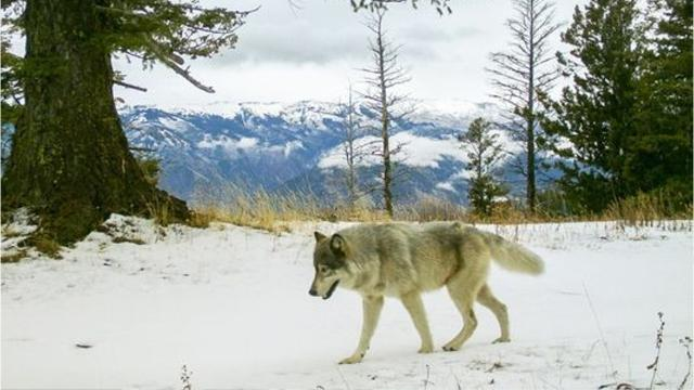 Wolves were wiped out of Oregon 70 years ago, but here's how they've existed in the state since returning.