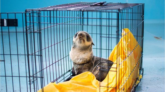 Oregon Coast Aquarium staff free and treat a northern fur seal pup found in Winchester Bay
