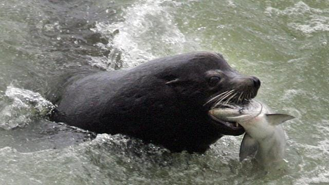 One in four winter steelhead won't make it past Willamette Falls on the Upper Willamette River because of savvy sea lions. AMY READ / Statesman Journal