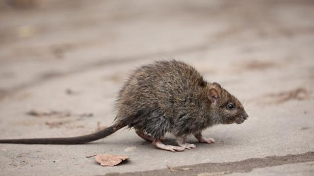 An uptick in urban rats has homeowners frantically trying to figure out ways to thwart infestations.