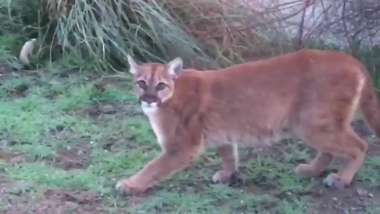 Raw video of a cougar wondering into a backyard in an urban area in Southern Oregon's Rogue Valley.
