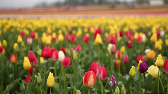 Forty acres of tulips in bloom during the Wooden Shoe Tulip Fest outside Woodburn on Sunday, April 15, 2018. The festival continues through May 6, with this week and next being peak bloom time.