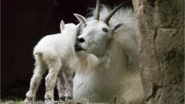 The Oregon Zoo welcomed a new mountain goat kid Friday morning. This is the second mountain goat birth at the zoo in the past month.
