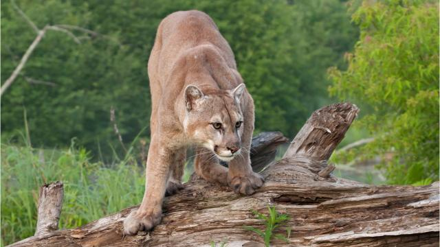 What to do if you encounter a cougar in the wild