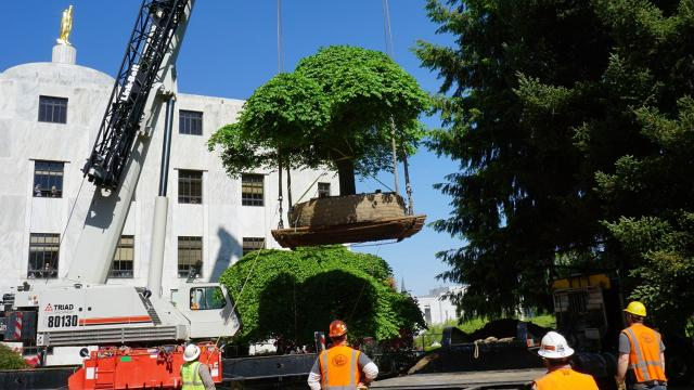 Four Camperdown elms were relocated at the Capitol to make way for seismic work. This will be at least the third time some of the trees have been moved. DAVID DAVIS & CAPI LYNN / Statesman Journal