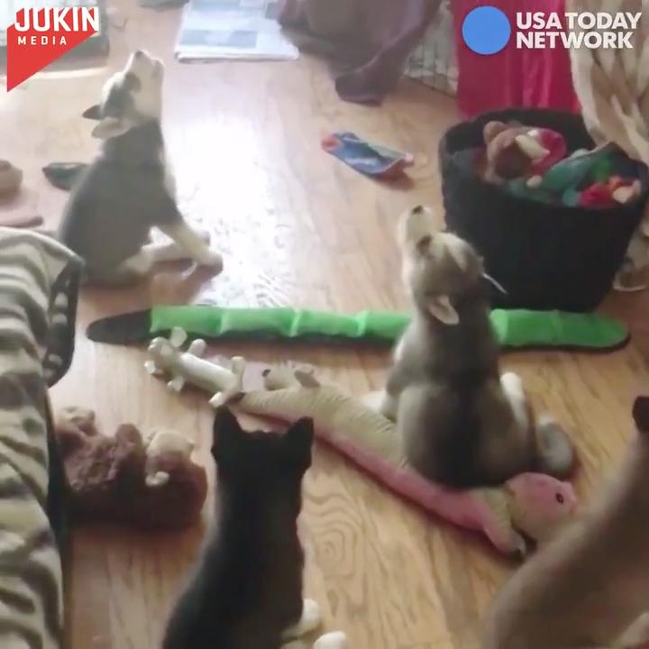 One Husky started to howl, and soon they were all joining in.
