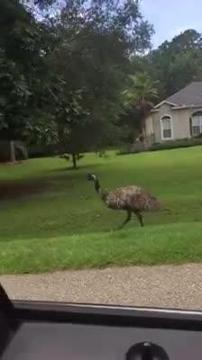 Watch it: LCSO deputy coaxes escaped emu