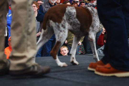 Dogs and their owners walk down the walkway during The Bird Dog Parade at the National Pheasant Fest & Quail Classic Friday, Feb. 16, at the Denny Sanford Premier Center. There were 44 different sporting dog breeds that participated in the parade.