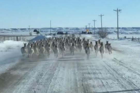 A video of a herd of antelope running on Elm Springs Road in Meade County on Tuesday, taken by Shawn Barber.